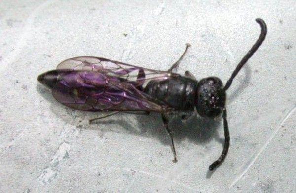 sapygidae ou fourmis volante centerblog. Black Bedroom Furniture Sets. Home Design Ideas