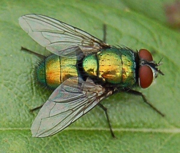 Mouche a merde pour tous - Invasion de mouches pourquoi ...