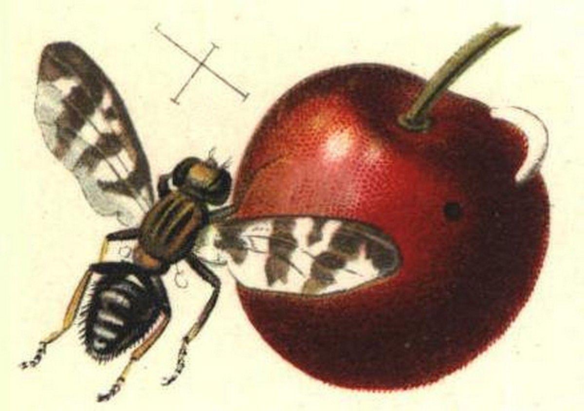 Entomologie etude des insectes page 2 - Vers dans les cerises ...