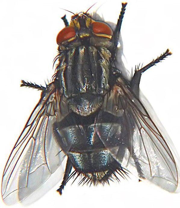 entomologie etude des insectes. Black Bedroom Furniture Sets. Home Design Ideas