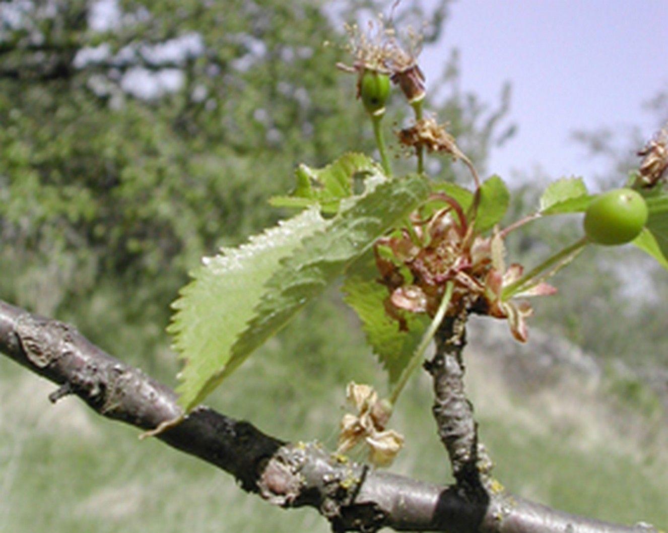 Cerisier Bois Puant : arbres fruitiers des zones temperees – Page 5